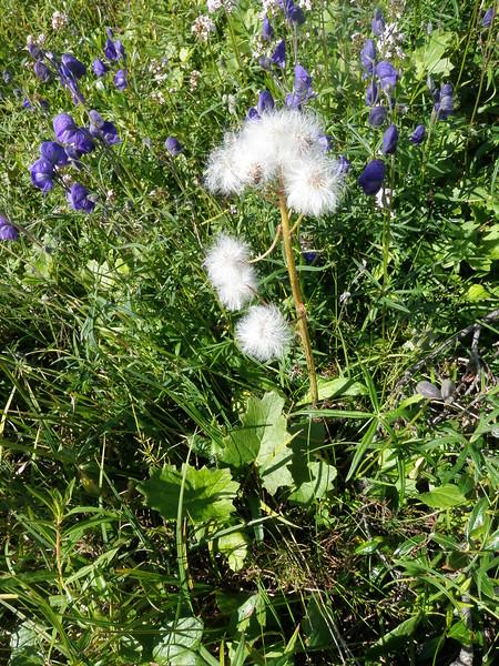 Arctic sweet coltsfoot - Petasites frigidus (PEFR5)