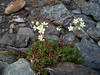 Three toothed saxifrage - Saxifraga tricuspidata (SATR5)