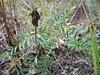 Alpine milkvetch - Astragalus alpinus (ASAL7)