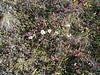 Narrowleaf saw-wort - Saussurea angustifolia var. angustifolia (SAANA3)
