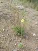 Icelandic poppy - Papaver nudicaule subsp. americanum (PANUA)