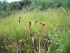 Meadow sedge - Carex praticola (CAPR7)