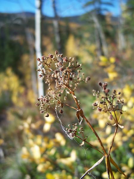 Northern bedstraw - Galium boreale (GABO2)