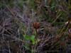 Marsh grass of Parnassus - Parnassia palustris (PAPA8)