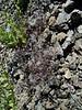 Elegant hawksbeard - Crepis elegans (CREL)