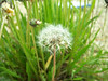 Common dandelion - Taraxacum officinale ssp. ceratophorum (TAOFC)
