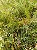 Chamisso sedge - Carex pachystachya (CAPA14)