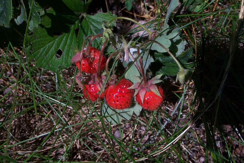 Pacific beach strawberry - Fragaria chiloensis ssp. pacifica (FRCHP)