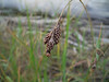 Gmelin's sedge - Carex gmelinii (CAGM)