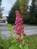 Rose spirea - Spiraea douglasii (SPDO)