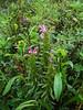 Langsdorf's lousewort - Pedicularis langsdorffii (PELA3)