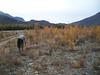 Alaskan wheatgrass - Elymus alaskanus ssp. alaskanus (ELALA2)