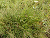 Longawn sedge - Carex macrochaeta (CAMA11)