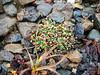Walpole's poppy - Papaver walpolei (PAWA)