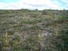 Alpine sweetgrass - Anthoxanthum monticola ssp. alpinum (ANMOA3)