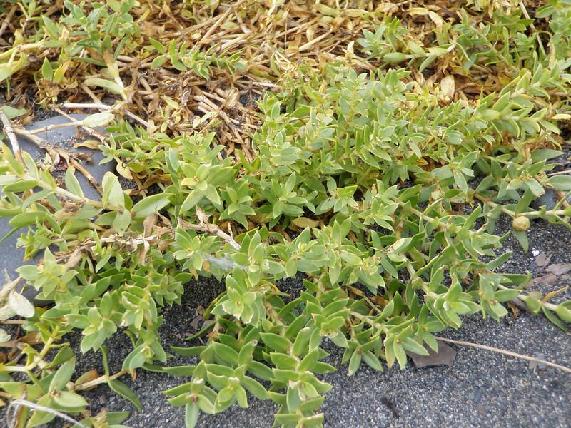 Seaside sandplant - Honckenya peploides (HOPE)