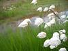 White cottongrass - Eriophorum scheuchzeri (ERSC2) collected in Alaska. Photo by BLM AK.