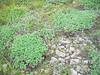 Creeping sibbaldia - Sibbaldia procumbens (SIPR)
