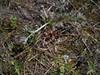 Pennsylvania cinquefoil - Potentilla pensylvanica var. litoralis (POPEL)