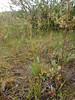 Krause's sedge - Carex krausei (CAKR2)