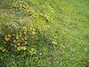 Smallflowered anemone - Anemone parviflora (ANPA)