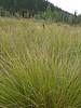 Bigelow's sedge - Carex bigelowii (CABI5)