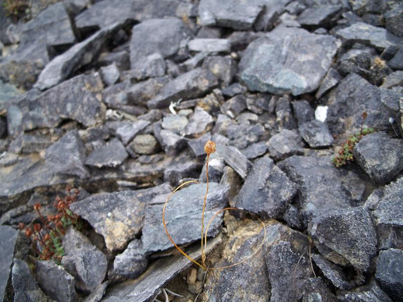 Common alplily - Lloydia serotina (LLSE)
