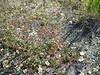 Norwegian cinquefoil - Potentilla ssp. monspeliensis (PONOM)