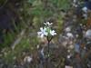 Arctic catchfly - Silene involucrata ssp. involucrata (SIINI2)