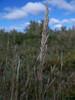 Purple reedgrass - Calamagrostis purpurascens (CAPU)