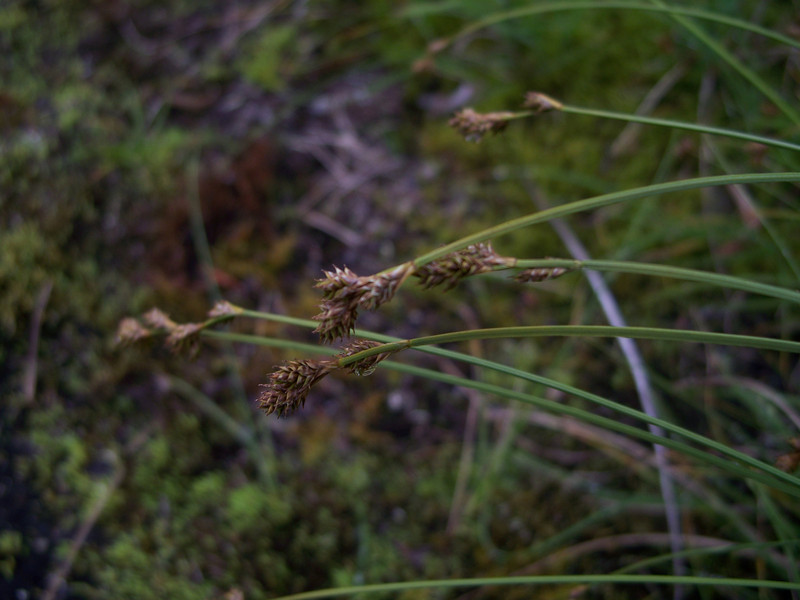 Twotipped sedge - Carex lachenalii (CALA10)