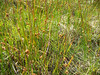 Thread rush - Juncus filiformis (JUFI)