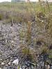 Krause's sedge - Carex krausei Boeckeler  (CAKR2)