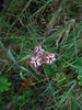 Kamchatka fritillary - Fritillaria camschatcensis (FRCA5)
