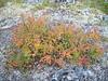 Beauverd spirea - Spiraea stevenii (SPST3)