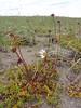 Arctic daisy - Chrysanthemum arcticum ssp. polare (CHARP3)