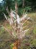 Fireweed - Chamerion angustifolium (CHAN9)