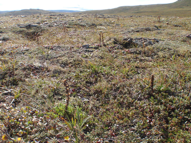 Oeder's lousewort - Pedicularis oederi (PEOE)