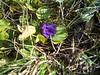 Hookedspur violet - Viola adunca (VIAD)