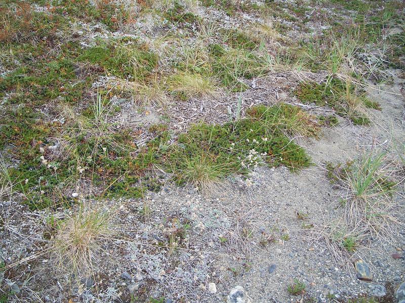 Alpine pussytoes - Antennaria alpina (ANAL4)