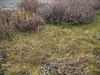 Small blacktip ragwort - Senecio lugens (SELU)