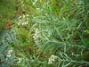 Western pearly everlasting - Anaphalis margaritacea (ANMA)