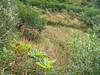 Fireweed - Chamerion angustifolium ssp. angustifolium (CHANA2)