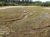 Arctic rush - Juncus arcticus (JUAR2)
