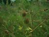 Largeleaf avens - Geum macrophyllum (GEMA4)