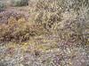 Mountain deathcamas - Zigadenus elegans (ZIEL2)