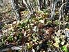 Liverleaf wintergreen - Pyrola asarifolia ssp. asarifolia (PYASA)