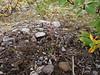 Fourpart dwarf gentian - Gentianella propinqua (GEPR5)
