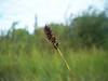Lesser panicled sedge - Carex diandra (CADI4)