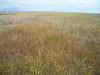 Mountain rush - Juncus arcticus ssp. littoralis (JUARL)
